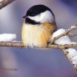 Птички  зимой